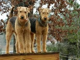 Airedale Terrier Non Shedding by Best 25 Airedale Puppies For Sale Ideas On Pinterest Schnauzer