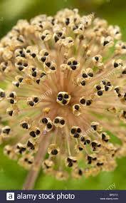 ornamental allium stipitatum summer flower bulb seedhead
