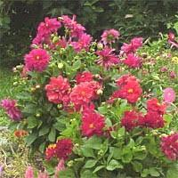 Plant Care Guides National Gardening Association dahlia