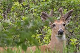 Does Deer Shed Their Antlers by Cuyahoga Valley Np On Twitter
