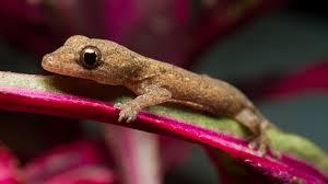 Crested Gecko Shedding Behavior by Gecko On Leaf Ngsversion 1411231382565 Jpg