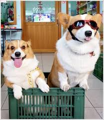 Love their tongues sticking out❣ 1000 Corgis
