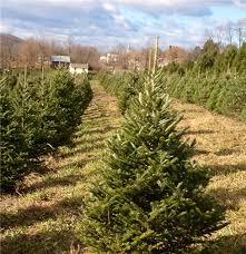 Nordmann Fir Christmas Tree Nj by Philadelphia And Southeastern Pennsylvania Christmas Tree Farms