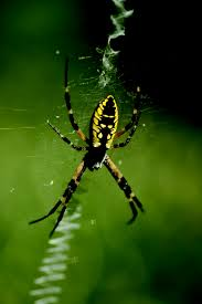 Garden Spider Facts & Control: Get Rid Of Garden Spiders R2rustys Chatter September 2017 Ladybugs Backyard And Beyond Birdingand Nature Golden Silk Orb Weaver Spider In Bug Eric Sunday Black Yellow Argiope Glass Beetle By Falk Bauer A Backyard Naturalistinsects Ghost Spiders Family Anyphnidae Spidersrule C2c_wiki_silvgarnspider_hrw8q0m1465244105jpg Aurantia Wikipedia Two Views Sonoran Images Elephant Tiger Skin Spiny Blackandyellow Garden Mdc Discover Power Animal For October Shaman Amy Katz