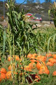 Types Of Pumpkins And Squash by 42 Types Of Pumpkins Toot Sweet 4 Two