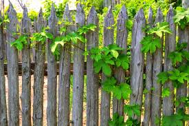An Aging Natural Rustic Fence With Grape Vines Trailing Over It