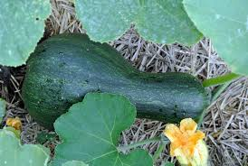 Types Of Pumpkins And Squash by Checking Up On The Pumpkin Patch The Martha Stewart Blog