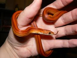 Corn Snake Shedding Time by Corn Snake Escamas Plumas Y Piel Pinterest Corn Snake
