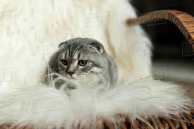 Fluffy Scottish Fold Cat Lying On Rocking Chair With Woolly D2115_44_118