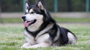 do huskies or malamutes shed more alaskan malamute breeder puppies for sale aquila kennels