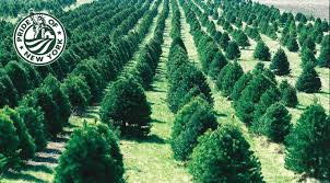 Canaan Fir Good Christmas Tree by Tree Varieties Farm Fresh Christmas Trees Grown In Ny State