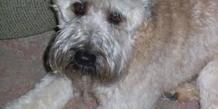 Do Wheaten Terriers Shed by 5 Reasons To Own A Wheaten Terrier Wheaten U0026 Whoodle World