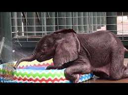 Ellie The Dallas Zoo Baby Elephant Splashes Around In A Kiddie Pool