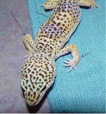 Do Leopard Geckos Shed by Leopard Gecko Care Chicago Exotics Animal Hospital
