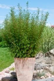 les différentes utilisations des bambous dans un jardin