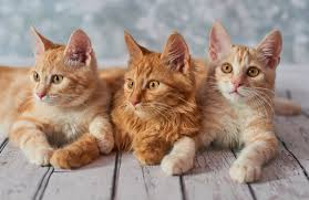 bobtail cat american bobtail cat breed personality history and pictures