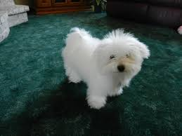 Small White Non Shedding Dog Breeds by 121 Best Bolognese Dog Images On Pinterest White Dogs Bichon