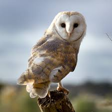 Adopt Charlie The Barn Owl - Hawk Conservancy Trust Lets Talk About Birds Barn Owl Pittsburgh Postgazette Couple Owls Stock Photo 30126931 Shutterstock Watch The Secret To Why Barn Owls Dont Lose Their Hearing New Zealand Online Let You Know Birdnote Owl John James Audubons Of America Information Found Suffer No Loss As They Age Facts Pictures Diet Breeding Habitat Behaviour Baby Youtube