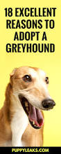 Non Shedding Small Dogs For Adoption by 18 Excellent Reasons To Adopt A Greyhound Puppy Leaks