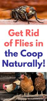 How To Get Rid Of Flies In Your Chicken Coop Naturally! | *~ Posts ... 25 Unique Flies Outside Ideas On Pinterest Sliding Doors How To Prevent Mosquitoes In Your Back Yard Infographic Images On New Do You Get Rid Of The Backyard Architecturenice Outdoor Goods Mix These 2 Ingredients And House Will Be Free Of Flies Organically Why Are Dangerous To Of Them Brody Pintology Pine Sol As Fly Repellant And Picture Fascating In The Naturally With 5 Simple Steps