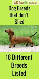 Dog Breeds That Dont Shed by The 25 Best Dog Breeds That Dont Shed Ideas On Pinterest