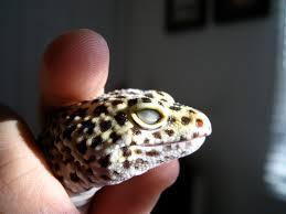 Do Baby Leopard Geckos Shed by Leopard Gecko Eyes Blind