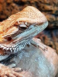 bearded dragon shedding nose 100 images white thing coming