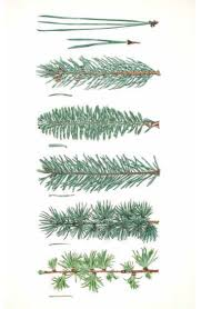 Best Christmas Tree Type by 15 Best Trees Images On Pinterest Botany Tree Identification