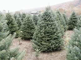 Popular Christmas Tree Species by Pleasant Valley Tree Farm