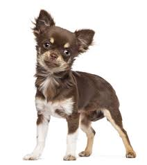 Best Non Shedding Small Dogs by Chihuahua 11 Jpg