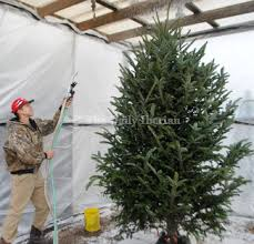 Aspirin Keep Christmas Trees Alive by Keeping Tree Alive Local News Stories Iberianet Com