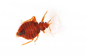 Don t Confuse Bed Bugs with These Misdiagnosed Conditions