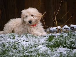 Do F1 Aussiedoodles Shed by About Goldendoodles Aussiedoodle And Labradoodle Puppies Best