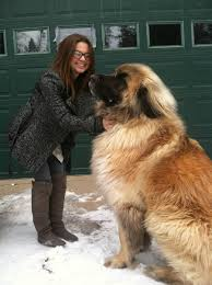 Large Dog Breeds That Dont Shed by Post Subject Leonberger Giant Dog Breed Big Dogs Litle Pups