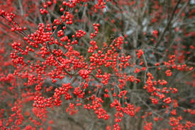 Winterberry Christmas Tree by Holly Sparkleberry Winterberry Garden Goods Direct