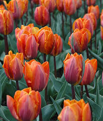 tulip princess irene tulip bulbs at burpee