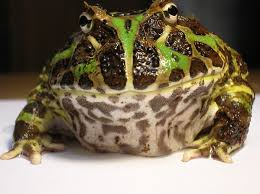 Do Aquatic Dwarf Frogs Shed Their Skin by Pacman Frog Ornate Horned Frog Care Pethelpful