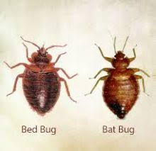 Are There Bugs That Look Like Bed Bugs