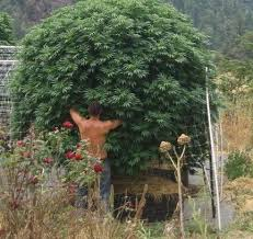 recolte cannabis exterieur date comment sortir les plantes de cannabis en extérieur du