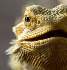 Bearded Dragon Shedding Behavior by The Charm Of The Little Bearded Dragons Animals Pinterest