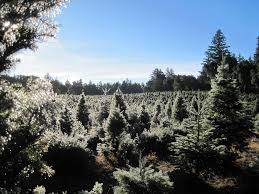 Santa Cruz Christmas Tree Farms by Crest Ranch Christmas Tree Farm Home Facebook
