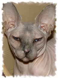 hairless cat price lykoi cats kittens nadacatz rex lykoi cats for