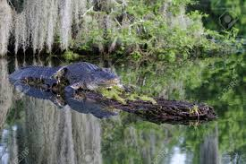 alligator bayou lake update louisiana alligator in the bayous of louisiana stock photo picture