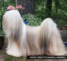 lhasa apso puppy shedding lhasa apso grooming bathing and care espree animal products