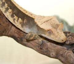 Crested Gecko Shedding Help by What Would You Pair Him With Crested Gecko Homies Chameleon