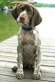 german shorthaired pointer shed get to the breeds german shorthaired pointer the green leaf