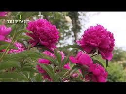 pivoine herbacee en pot comment planter une pivoine herbacée jardinerie truffaut tv