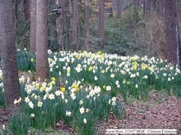 hgic 1155 flowering bulbs extension clemson