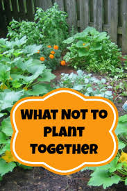 companion planting what not to plant together need to