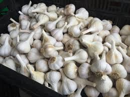 garlic seed tamarack garlic farm garlic seed and gourmet